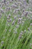 αρωματικό lavender τοπίων πεδίων βοτανικό φυτό Στοκ Εικόνα