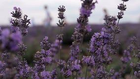 αρωματικό lavender τοπίων πεδίων βοτανικό φυτό απόθεμα βίντεο