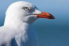 ασήμι γλάρων portaint Στοκ φωτογραφία με δικαίωμα ελεύθερης χρήσης