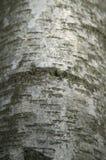 ασήμι σημύδων φλοιών Στοκ εικόνα με δικαίωμα ελεύθερης χρήσης