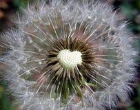 ασήμι σπόρων Στοκ Φωτογραφίες