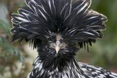 ασήμι στιλβωτικής ουσίας κοτόπουλου Στοκ Φωτογραφία