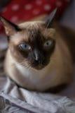Ασία, γάτα της Ταϊλάνδης - & x28 Εκλεκτικό focus& x29  Στοκ Εικόνες