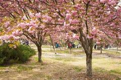 Ασία κινέζικα, Πεκίνο, πάρκο Yuyuantan, ο κήπος λουλουδιών, κεράσι, τοπίο Στοκ Εικόνες