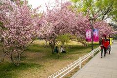 Ασία κινέζικα, Πεκίνο, πάρκο Yuyuantan, ο κήπος λουλουδιών, κεράσι, Στοκ Εικόνα