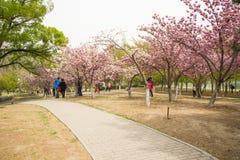 Ασία κινέζικα, Πεκίνο, πάρκο Yuyuantan, ο κήπος λουλουδιών, κεράσι, Στοκ φωτογραφία με δικαίωμα ελεύθερης χρήσης