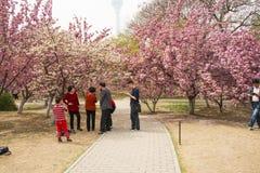 Ασία κινέζικα, Πεκίνο, πάρκο Yuyuantan, ο κήπος λουλουδιών, κεράσι, Στοκ εικόνα με δικαίωμα ελεύθερης χρήσης
