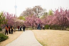 Ασία κινέζικα, Πεκίνο, πάρκο Yuyuantan, ο κήπος λουλουδιών, κεράσι, Στοκ Φωτογραφίες