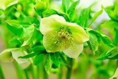 Ασβέστης άνοιξη λουλουδιών Orientalis Helleborus Στοκ Φωτογραφίες