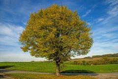 Ασβέστης-δέντρο το φθινόπωρο Στοκ Φωτογραφία