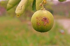 Ασβέστης, αιτίες ασθενειών ελκών λεμονιών από τα βακτηρίδια, έλκος φρούτων Στοκ φωτογραφία με δικαίωμα ελεύθερης χρήσης