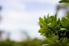 Ασβέστης στο δέντρο με το υπόβαθρο θαμπάδων με το διάστημα αντιγράφων, WI λεμονιών Στοκ Φωτογραφία