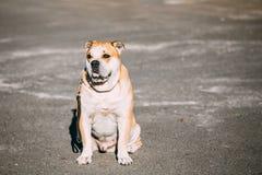 Ασβέστιο de Bou ή Perro de Presa Mallorquin, σκυλί Molossian Στοκ Φωτογραφία