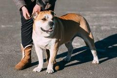 Ασβέστιο de Bou ή Perro de Presa Mallorquin, σκυλί Molossian Στοκ εικόνες με δικαίωμα ελεύθερης χρήσης