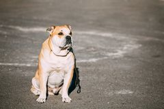 Ασβέστιο de Bou ή Perro de Presa Mallorquin, σκυλί Molossian Στοκ Εικόνα
