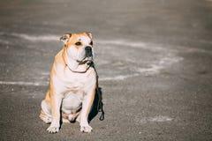 Ασβέστιο de Bou ή Perro de Presa Mallorquin, σκυλί Molossian Στοκ Εικόνες