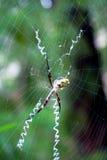 Ασημένια αράχνη κήπων argentata Argiope Στοκ Φωτογραφίες