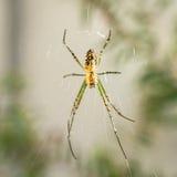 Ασημένια αράχνη υφαντών σφαιρών που βλέπει από κάτω από Στοκ Εικόνες