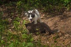 Ασημένια αλεπού και μαρμάρινη απόκλιση Vulpes αλεπούδων vulpes Στοκ εικόνα με δικαίωμα ελεύθερης χρήσης