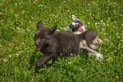 Ασημένια αλεπού και μαρμάρινη αλεπού Vulpes vulpes που παίζουν Στοκ Φωτογραφία