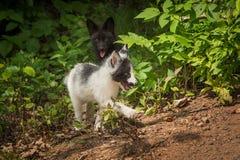 Ασημένια αλεπού και μαρμάρινη αλεπού Vulpes vulpes Prance κοντά Στοκ εικόνες με δικαίωμα ελεύθερης χρήσης