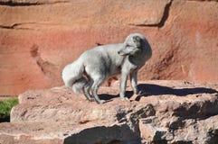 Ασημένια αλεπού Στοκ φωτογραφία με δικαίωμα ελεύθερης χρήσης