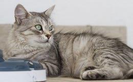 Ασημένια γάτα με ένα παιχνίδι Στοκ Εικόνες