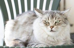 Ασημένια γάτα ομορφιάς στην καρέκλα κήπων Στοκ Φωτογραφία