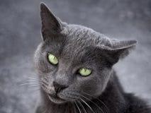 Ασημένια γάτα στο γκρίζο υπόβαθρο Στοκ Εικόνες