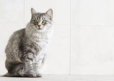 Ασημένια γάτα στο arcade Στοκ Φωτογραφίες