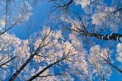 ασημένια δέντρα Στοκ εικόνες με δικαίωμα ελεύθερης χρήσης