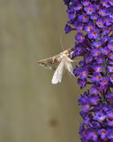 Ασημένια πεταλούδα γάμμα Στοκ Εικόνα