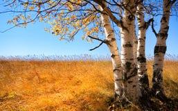 Ασημένια σημύδα Στοκ φωτογραφία με δικαίωμα ελεύθερης χρήσης