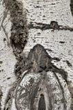 Ασημένια σύσταση φλοιών κορμών λευκών Στοκ Φωτογραφία