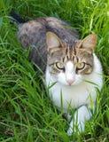 Ασημένια τιγρέ γάτα Στοκ Εικόνες