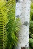 Ασημένια φτέρη σημύδων και στρουθοκαμήλων Στοκ Φωτογραφία