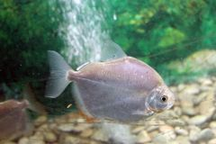 Ασημένια ψάρια δολαρίων Στοκ φωτογραφίες με δικαίωμα ελεύθερης χρήσης