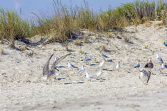 Ασημένιοι γλάροι στη ρουμανική παραλία Στοκ Φωτογραφίες
