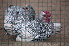 Ασημένιοι κόκκορας και κότα Sebright σε ένα κλουβί Στοκ φωτογραφίες με δικαίωμα ελεύθερης χρήσης