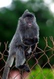 Ασημένιοι πίθηκοι φύλλων που αναρριχούνται στο φράκτη χάλυβα στοκ εικόνες με δικαίωμα ελεύθερης χρήσης