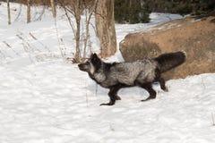 Ασημένιοι περίπατοι Vulpes αλεπούδων vulpes που αφήνονται Στοκ φωτογραφίες με δικαίωμα ελεύθερης χρήσης