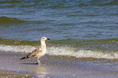 Ασημένιος γλάρος στη ρουμανική παραλία Στοκ Εικόνα