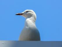 Ασημένιος γλάρος Στοκ Εικόνες