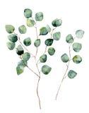 Ασημένιος ευκάλυπτος δολαρίων Watercolor με τα στρογγυλούς φύλλα και τους κλάδους απεικόνιση αποθεμάτων