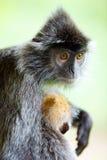 Ασημένιος πίθηκος φύλλων Στοκ Εικόνες