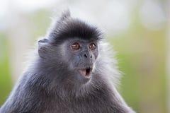 Ασημένιος πίθηκος φύλλων Στοκ φωτογραφίες με δικαίωμα ελεύθερης χρήσης