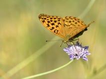 Ασημένιος-πλυμένη πεταλούδα Fritillary στο λουλούδι Στοκ φωτογραφίες με δικαίωμα ελεύθερης χρήσης