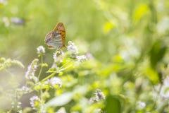Ασημένιος-πλυμένη fritillary κινηματογράφηση σε πρώτο πλάνο paphia Argynnis πεταλούδων Στοκ φωτογραφία με δικαίωμα ελεύθερης χρήσης