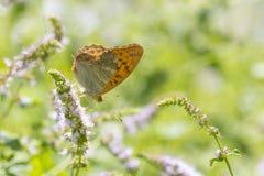 Ασημένιος-πλυμένη fritillary κινηματογράφηση σε πρώτο πλάνο paphia Argynnis πεταλούδων Στοκ Φωτογραφία