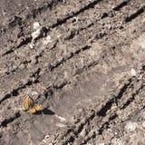 Ασημένιος-πλυμένος ο fritillary Πεταλούδα paphia Argynnis στοκ φωτογραφία